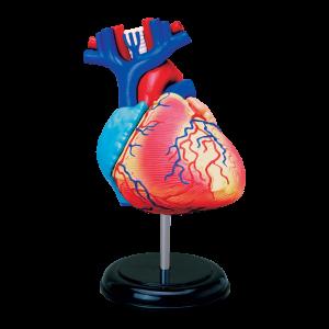 Анатомическая модель Сердце человека, 31 деталь