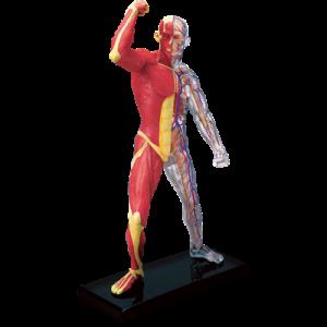 Анатомическая модель Мускулы и скелет человека, 46 деталей