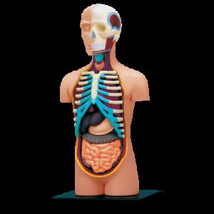 Анатомическая модель Торс человека, 32 детали