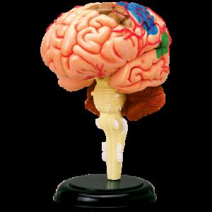 Анатомическая модель Мозг человека, 32 детали