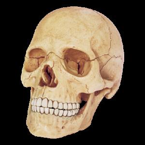 Анатомическая модель Череп человека, 17 деталей